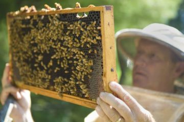 beekeeper-inspecting-movable-frame-hives